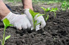 Farmer planting a pepper seedling Stock Photos