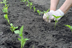 Farmer planting a pepper seedling Stock Photography