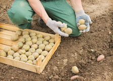 Farmer planting potatoes in the ground Stock Photos
