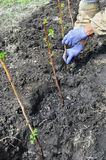 Farmer planting a raspberry seedling Stock Image