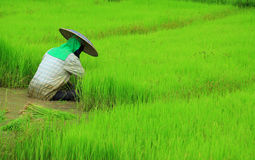 Farmer planting rice Royalty Free Stock Photography