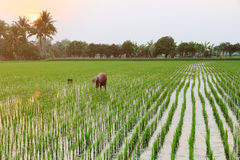 Farmer is planting rice Royalty Free Stock Photos