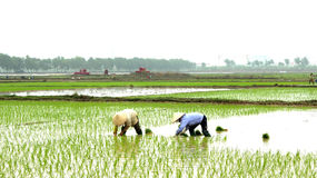 Farmer planting rice in the field Stock Image
