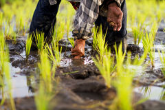 Farmer planting rice in fields Royalty Free Stock Images