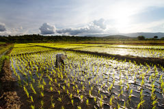 Farmer planting rice in fields Stock Photos