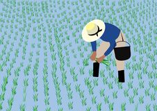 Farmer planting rice Stock Photography