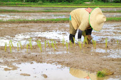 Farmer planting rice Stock Images