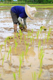 Farmer planting rice Royalty Free Stock Photo