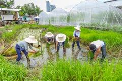 Farmer planting rice sapling on rice paddy field in organic farm Stock Photos