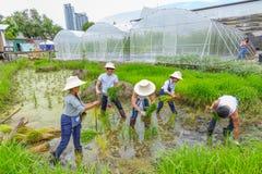 Farmer planting rice sapling on rice paddy field in organic farm Royalty Free Stock Photos