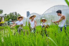 Farmer planting rice sapling on rice paddy field in organic farm Stock Photo
