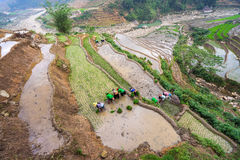 Farmer is planting rice on terraced field for new season. In Hoang Su Phi in Vietnam Stock Photography