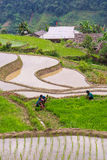Farmer is planting rice on terraced field for new season. Hoang Su Phi, Vietnam - June 23, 2016 : Farmer is planting rice on terraced field for new season in Royalty Free Stock Images