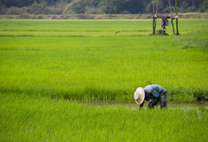 Farmer planting rice in Thailand. A farmer is planting young rice in a rice field in Thailand Stock Image