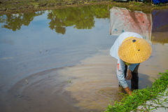Farmer planting some rice seeds in a flooded land in terraces, Ubud, Bali, Indonesia.  royalty free stock photo