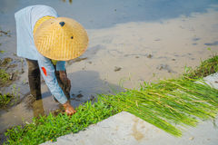 Farmer planting some rice seeds in a flooded land in terraces, Ubud, Bali, Indonesia Royalty Free Stock Photos