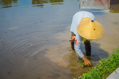 Farmer planting some rice seeds in a flooded land in terraces, Ubud, Bali, Indonesia.  Royalty Free Stock Image