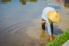 Farmer planting some rice seeds in a flooded land in terraces, Ubud, Bali, Indonesia.  Stock Photos