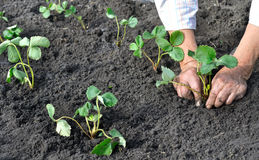 Farmer planting a strawberry seedling Royalty Free Stock Photo