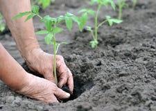 Farmer planting a tomato seedling Royalty Free Stock Image