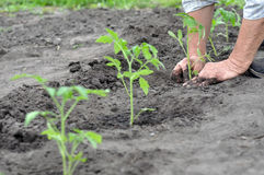 Farmer planting a tomato seedling Stock Images