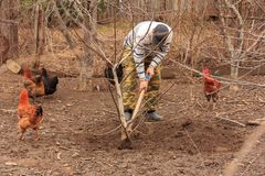 A farmer planting walnut tree. And next to him go chickens royalty free stock photo