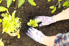 Farmer planting young seedlings of lettuce salad in the vegetable garden. Organic gardening concept stock photography