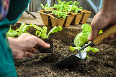 Farmer planting young seedlings Royalty Free Stock Image