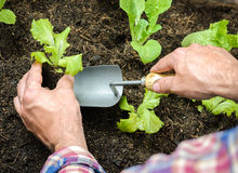Farmer planting young seedlings Royalty Free Stock Images