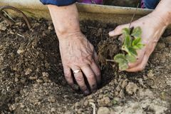 Farmer planting young strawberry stock images