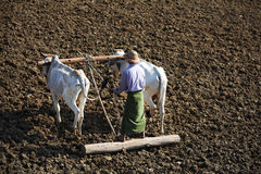 Farmer ploughing field with two bulls in Myanmar Royalty Free Stock Photos