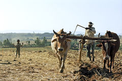 Farmer is with plow and oxen plowing his field Royalty Free Stock Photography