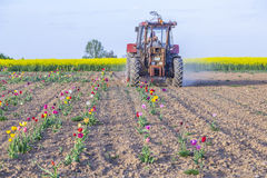 Farmer plowes the tulip field Royalty Free Stock Image