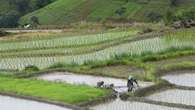 Farmer plowing the fields. CHIANG MAI, THAILAND - JULY 24: Farmer plowing the fields with a motor-powered plow in Rice terraced at Pa Bong Piang village, Mae stock video footage