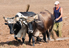 Farmer plowing his field in Cuba Stock Photo