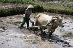 Farmer plowing his rice field with cows Royalty Free Stock Photos