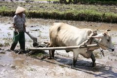 Farmer plowing his rice field with cows Royalty Free Stock Photography