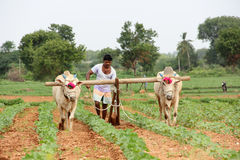 Farmer Plowing. Indian Farmer Plowing in cotton field royalty free stock images