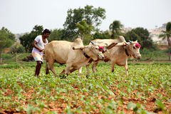 Farmer Plowing. Indian Farmer Plowing in cotton field royalty free stock photography