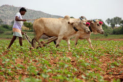 Farmer Plowing. Indian Farmer Plowing in cotton field Stock Photo