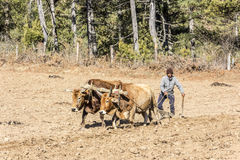 Farmer plowing with oxen Royalty Free Stock Images