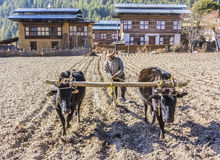 Farmer plowing with oxen Stock Images