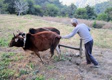 Farmer plows the field. Indian farmer plows the field in mauntains Royalty Free Stock Images