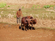 Farmer plows his dry field with a zebu cow, Madagascar, Africa Royalty Free Stock Photos