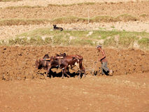 Farmer plows his dry field with a zebu cow, Madagascar, Africa Stock Images