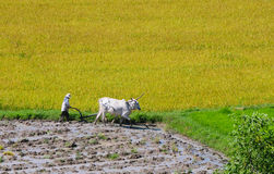 Farmer plows rice field in Mekong Delta Royalty Free Stock Image