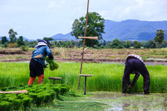 Farmer preparation rice seedling to plant. At a farmland in Thailand Stock Photos