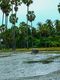 Farmer. Preparing the ground for the growth of rice in Thailand Royalty Free Stock Photo