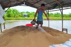 A farmer is preparing to feed pangasius catfish in his farm pond Royalty Free Stock Images