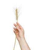 Farmer presenting wheat as a gift Stock Images